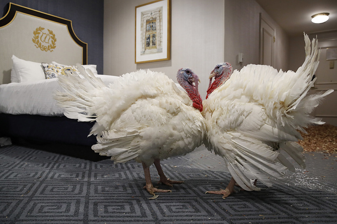 Two turkeys are seen in their room at the Willard InterContinental Hotel in Washington ahead of Thanksgiving