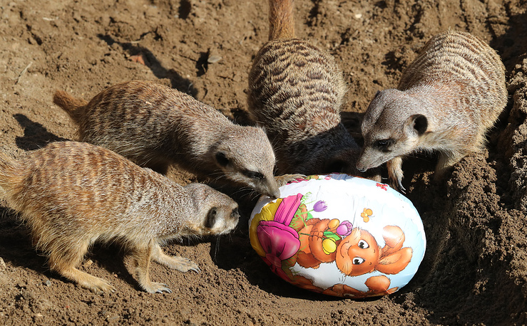 Meerkats inspecting a cardboard egg containing Easter goodies at the zoo in Hanover