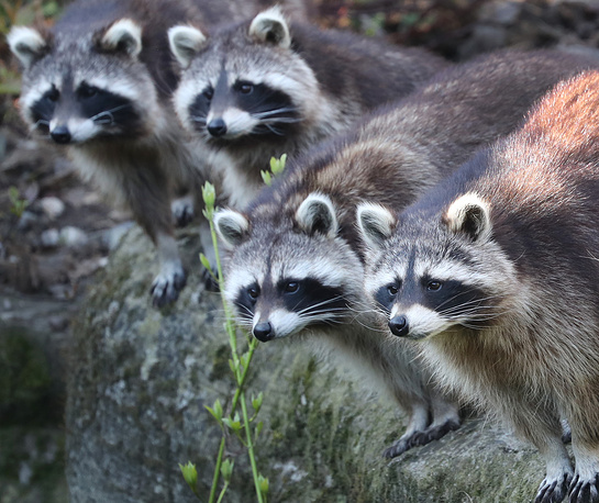 Four racoons looking on in their enclosure in the zoo in Hanover