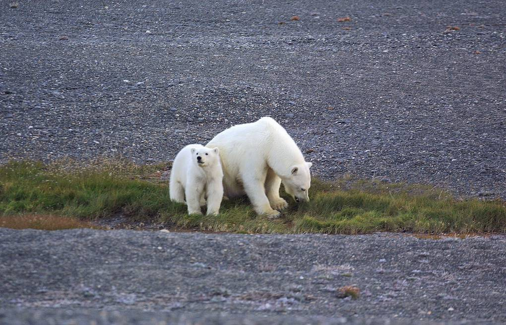 Polar bears seen on Wrangel Island ITAR-TASS/Arkady Sukhonin