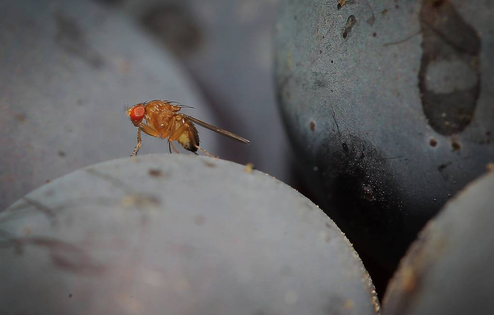 Азиатские мушки Drosophila suzukii AP Photo/dpa/ Fredrik von Erichsen