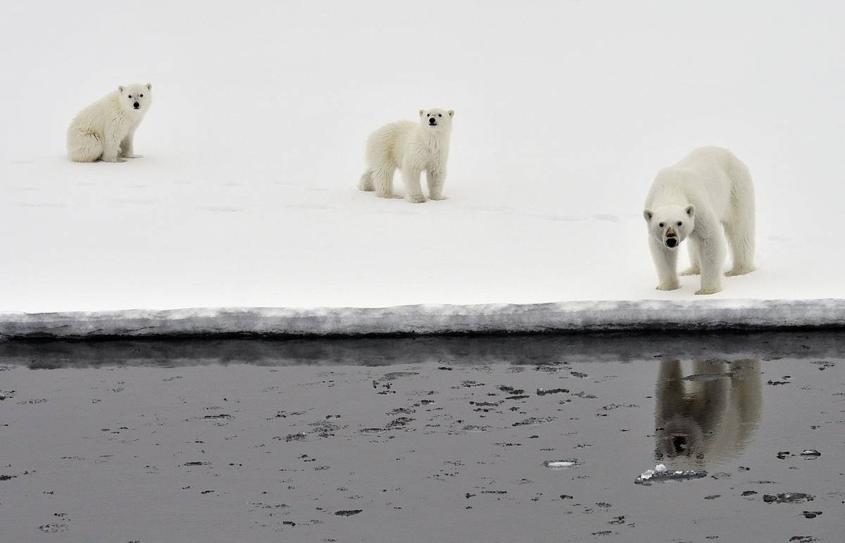 Scientists: polar bears population is growing