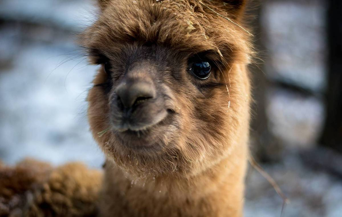 Moscow zoo announces birth of two baby alpacas