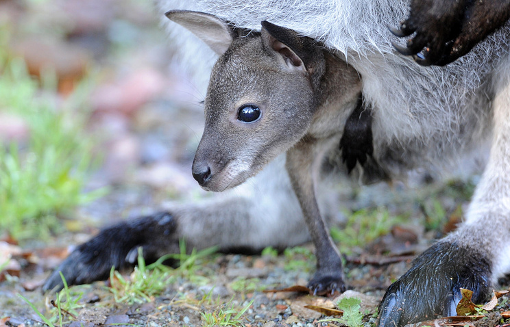 A baby kangaroo emerges from its mother's pouch (archive)