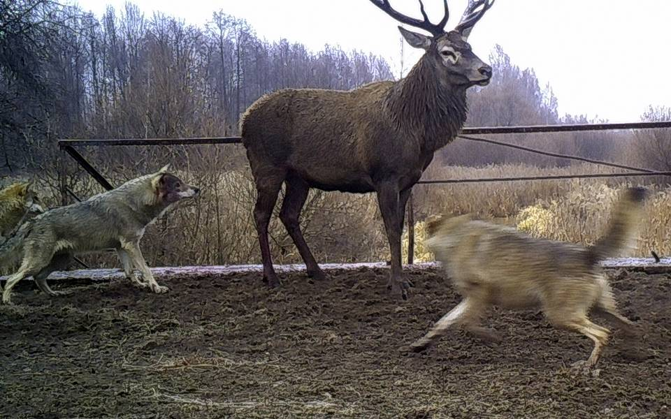 Wolves attack a deer close to Ukraine's Chernobyl, 2014 AP Photo/Sergiy Gaschak